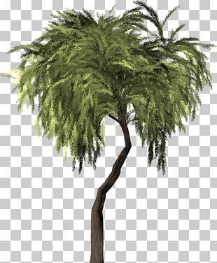 Weeping Willow Tree Salix Pierotii Branch Asian Palmyra Palm PNG