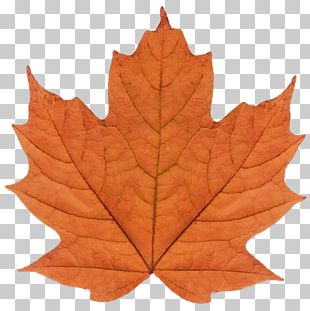 Maple Leaf Watercolor Painting Art PNG