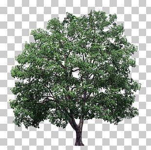 Plane Trees Crown Elm PNG