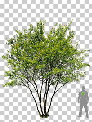 English Oak Tree Prunus Serrulata Garden Landscaping PNG
