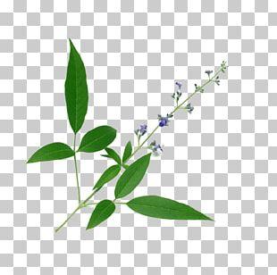Chinese Chastetree Chaste Tree Medicinal Plants Ayurveda Medicine PNG