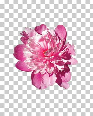 Pink Flowers Stock Photography Pink Flowers Floral Design PNG