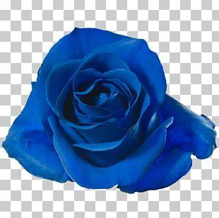 Garden Roses Blue Rose Cut Flowers Petal PNG