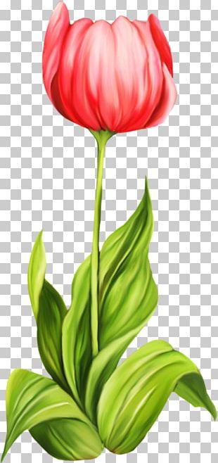 Tulip Cut Flowers PNG