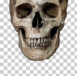 Skull Stock Photography Human Skeleton PNG