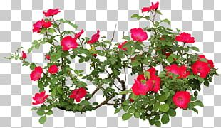 Flowering Plant Rose Flowering Plant PNG