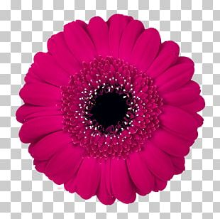 Transvaal Daisy Flower Stock Photography Color PNG