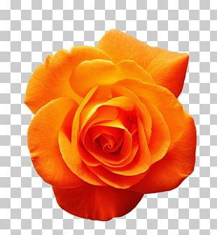 Garden Roses Orange Flower Red PNG