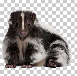 Dog Striped Skunk Eastern Spotted Skunk Pet PNG