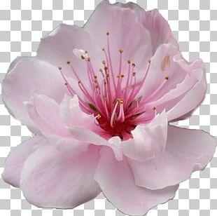 Subaru Cherry Blossom Festival Of Greater Philadelphia Flower PNG