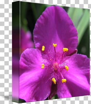 Annual Plant Herbaceous Plant Close-up Wildflower PNG
