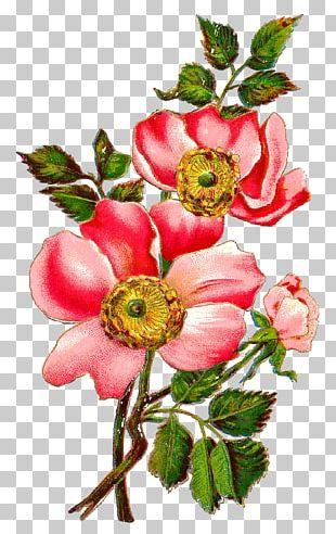 Flower Centifolia Roses Field Rose Petal Floral Design PNG