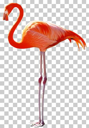Bird Pelican Greater Flamingo PNG