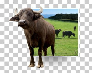 Cattle Water Buffalo Ox Bison Animal PNG