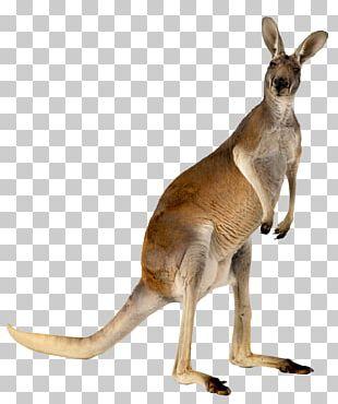 Australia Kangaroo Animal PNG