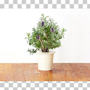 English Lavender Plant Hyssop Shrub Garden PNG