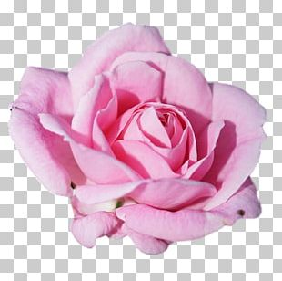 Rose Pink Flowers Petal PNG