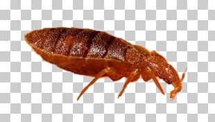 Insect Bed Bug Bite Bed Bug Control Techniques Mosquito PNG