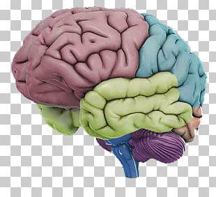 Human Brain Human Anatomy Human Body PNG