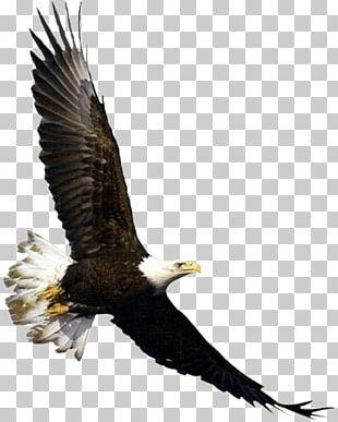 Bald Eagle Bird Flight White-tailed Eagle PNG