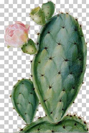 Cactaceae Succulent Plant Drawing Flower Desert PNG
