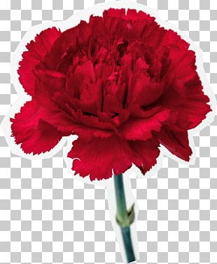 Carnation Cut Flowers Common Poppy PNG