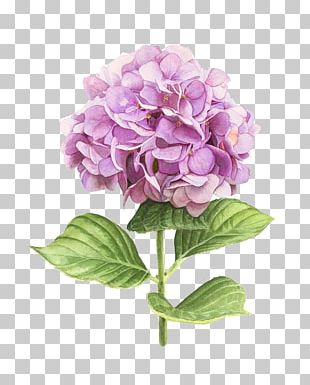 Hydrangea Watercolor Painting Botanical Illustration Art PNG