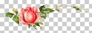 Garden Roses Centifolia Roses Shabby Chic Flower PNG