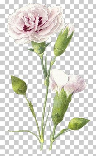 Victory Day Centifolia Roses Drawing Photography PNG