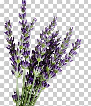 English Lavender Lavandula Dentata French Lavender Lavender Oil Flower PNG