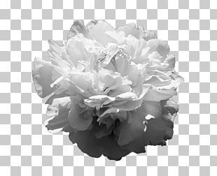 Peony Cut Flowers Rose Family Petal PNG