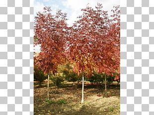 Sugar Maple Tree Shrub Deciduous Autumn Leaf Color PNG