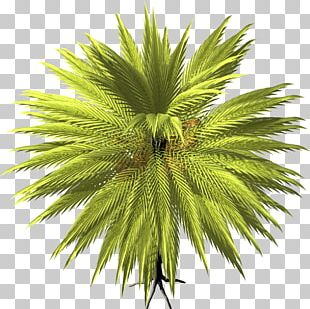 Arecaceae Date Palm Tree Asian Palmyra Palm PNG