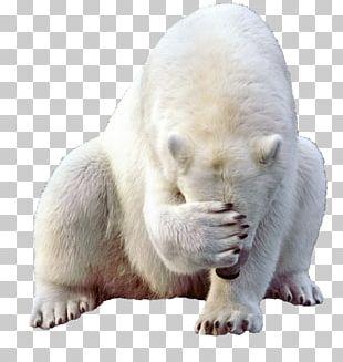 Baby Polar Bear Kodiak Bear PNG