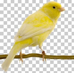 Red Factor Canary Yellow Canary Bird Swallow Columbidae PNG