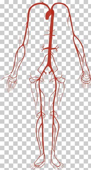 Artery Human Body Circulatory System Anatomy PNG