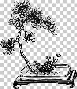 Branch Bonsai Da Interno Ficus Retusa PNG