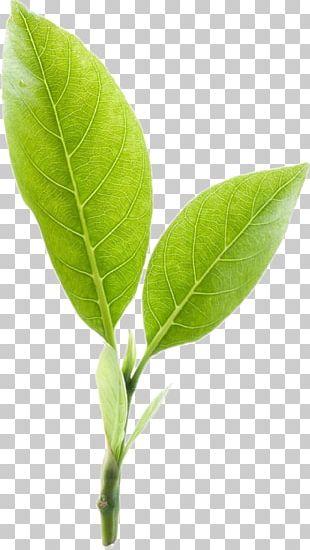 Green Tea Mighty Leaf Tea Company PNG