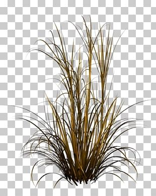 Chinese Fountain Grass Ornamental Grass PNG