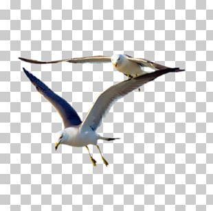 Gulls Bird Flight Great Black-backed Gull PNG