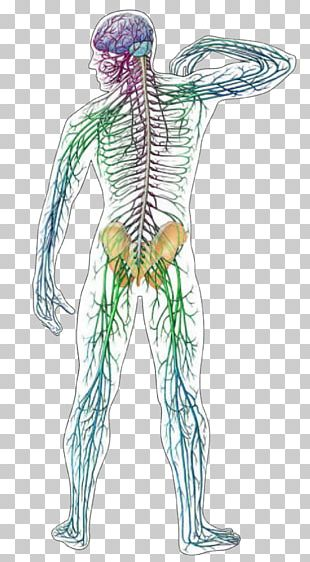 Central Nervous System Human Anatomy Human Body PNG