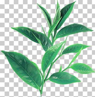 Green Tea White Tea Assam Tea Longjing Tea PNG