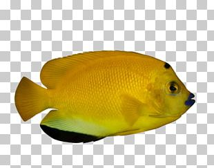Ornamental Fish Tropical Fish Deep Sea Fish PNG