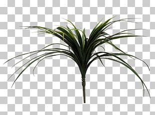 Arecaceae Grasses Plant Stem Leaf Tree PNG