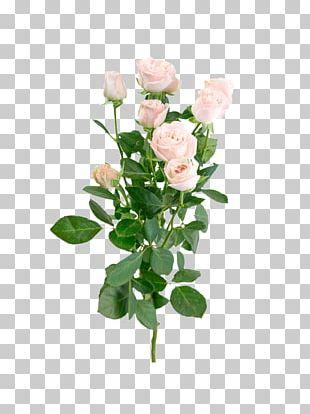 Garden Roses Cabbage Rose Pink Flower Bouquet Floral Design PNG