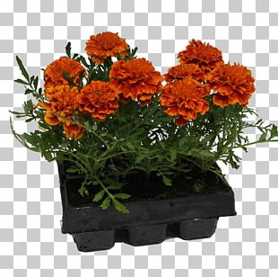 Chrysanthemum Cut Flowers Flowerpot Herb Annual Plant PNG
