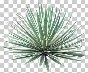 Agave Angustifolia Plant Tree Desert PNG