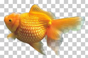 Goldfish Resolution PNG