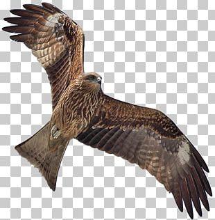 Bird Black Kite Flight PNG