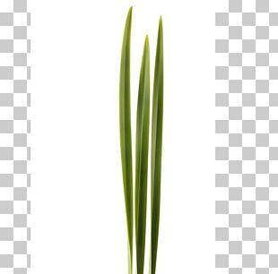 Leaf Welsh Cuisine Allium Fistulosum Grasses Plant Stem PNG